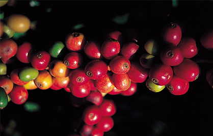 Distinguish Arabica Bean from Robusta Bean